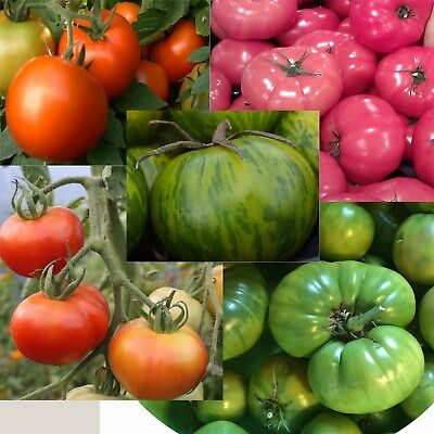 tomato bulk 5 packets 100 SEEDS reds pink green
