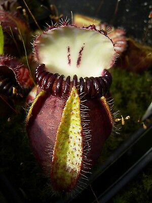 "Cephalotus ""German Giant"""