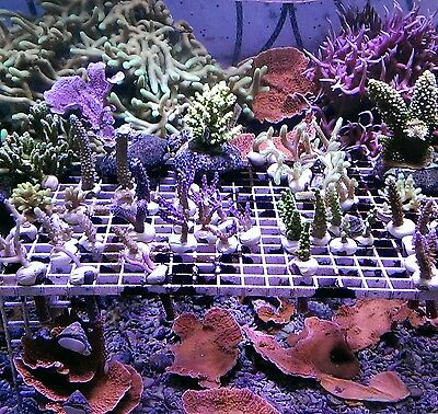 Coral frags Invertebrate Pack Beginners & expert SPS LPS soft corals marine reef
