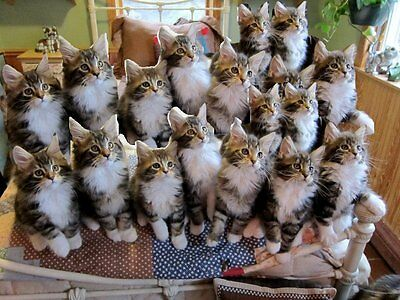 Cats Cats and More Cats .com Premium Domain Name For Sale