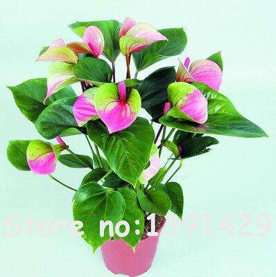 120PCS Japan Pink+Green Anthurium Seeds Rare Flower Seeds Balcony Potted Bonsai