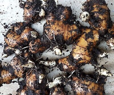 Edible Ginger rhizome root Live 300g