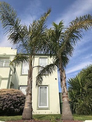 Palm Trees - Roughly 5 to 6 Metres Tall