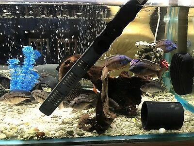 MALAWI CICHLID BLUE PEACOCKS   1cm -15cm  LIVE TROPICAL FISH