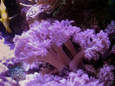 4Pulsing Xenia Marine Soft Coral Pom Pom Beautiful Frag with loads of heads