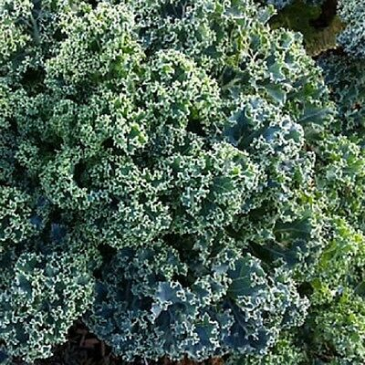 DWARF BLUE CURLED KALE plant in 100mm pot