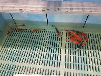 Koi Carp, 10cm - 15cm, Mixed Varieties. Koi Pond / Quarantine Tank
