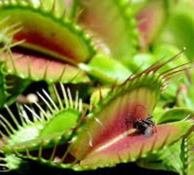 VENUS FLY TRAP Dionaea muscipula carnivorous fly eating plant in 60mm pot