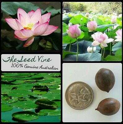 5+ SACRED LOTUS SEEDS (Nelumbo nucifera) Pink Water Lily Indian Holy
