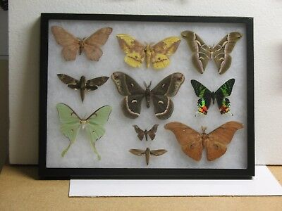 Real framed Worldwide Moth Collection #2