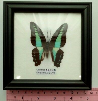 Real Common Bluebottle blue butterfly taxidermy insect   Display In Frame