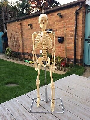 Human Skeleton Model Great For Medical Or Physiotherapist Students