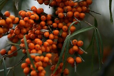 Sea Buckthorn Sapling (Hippophae) - Growing Fast - in 7cm pot