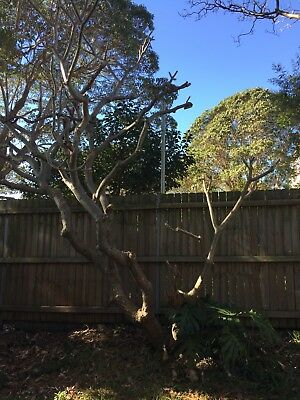 Large Established Frangipani Tree Very Healthy And Happy Ready To Transplant