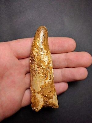 S09- Superb Rooted  ELOSUCHUS Tooth 3.39'' KemKem Beds Cretaceous Dinosaurs