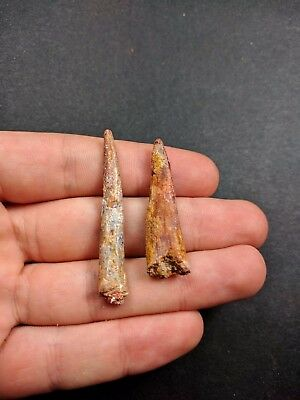 S34-KemKem Beds Collection 2 COLOBORHYNCHUS Pterosaur Dinosaur Teeth Cretaceous