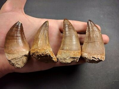 S42- Superb Collection 4 Huge Finest Mosasaur (PROGNATHODON ANCEPS) Teeth