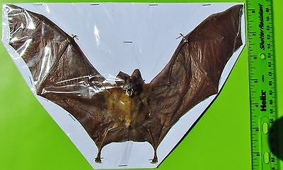 "Intermediate Roundleaf Bat Hipposideros larvatus 9"" Wingspan FAST SHIP FROM USA"