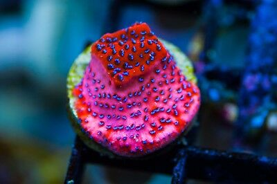 WYSIWYG CR Mystic Sunset Monti live corals reef tank zoas acans LPS SPS frag J7