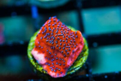 WYSIWYG CR Mystic Sunset Monti live corals reef tank zoas acans LPS SPS frag J32