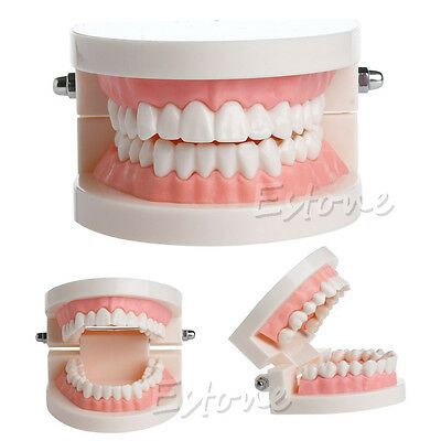 Dental Teaching Study Adult Standard Typodont Demonstration Teeth Model New