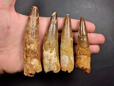 S47- Great Collection 4 Huge SPINOSAURUS Dinosaur Teeth Cretaceous KemKem