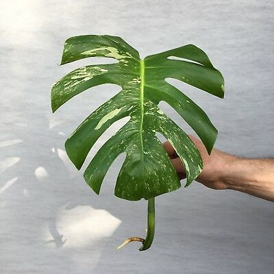 Monstera Deliciosa Variegated Rooted cutting. Swiss Cheese Plant
