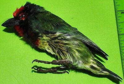 Coppersmith Barbet Bird Psilopogon haemacephalus Taxidermy FAST SHIP FROM USA