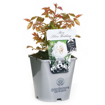SILVER WEDDING GardenersDream POTTED ROSE CARING GIFT MESSAGE 4.5L SILVER POT