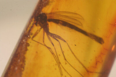 amber .Fossill Insects in BALTIC Amber inclusion .mosquito ,big