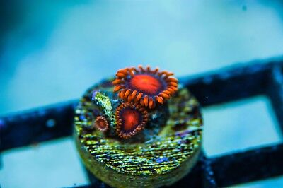 WYSIWYG CR Bam Bam Zoas live corals reef tank acans chalices LPS SPS frag F5