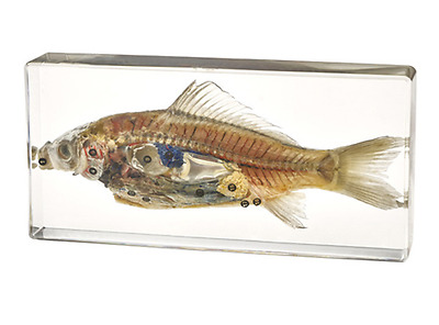 fish anatomy  Specimens Clear Lucite Block Specimen Resins embedded Specimen