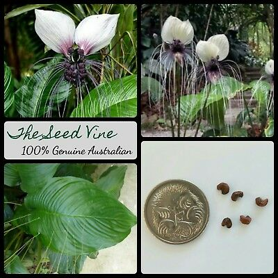 10+ WHITE BAT FLOWER SEEDS (Tacca integrifolia) Rare Tropical Fauna Garden