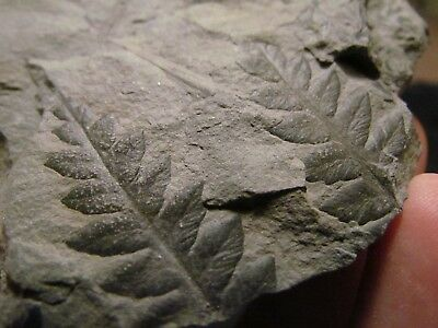 Gorgeous Mariopteris Fern Fossil from the Carboniferous, Pennsylvanian Period