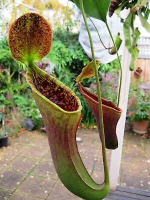 Nepenthes lowii x campanulata - carnivorous plant