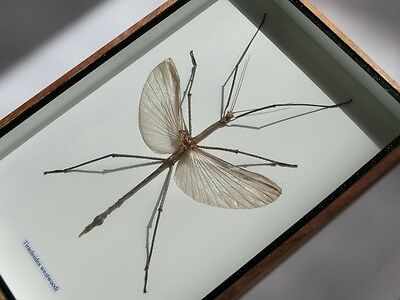 Stick Grasshopper Real Insect Taxidermy Wood Framed Wings Box Display