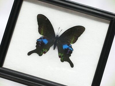 Papilio Blumei Real Butterfly Wood Framed Insects Taxidermy Display