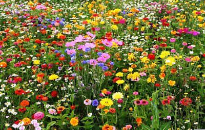 MEADOW WILD FLOWER SEEDS AS SEEN ON ROAD VERGES & ROUNDABOUTS 10g to 20kg mix 74