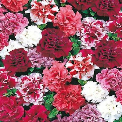 Petunia Double Duo Mix 30 pelleted seeds - Annual Flower