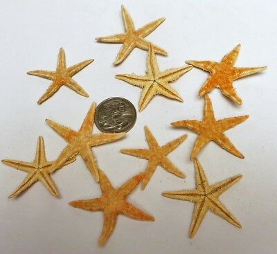 10 pcs. NaturalcolorReal Flat Starfish 35 to 55mm Med. size