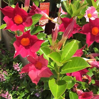 PLUM & DANDY DIPLADENIA flowers most of year climbing plant in 140mmm pot
