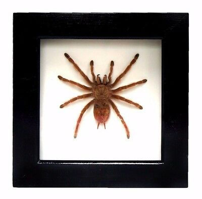Brazilian Giant Blonde spider Nhandu tripepii taxidermy mount insect frame