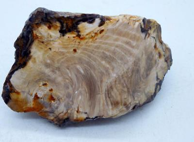 Petrified Wood Stand Up Rough Rock Cut R41 Lapidary Oregon Cabbing Cabochons