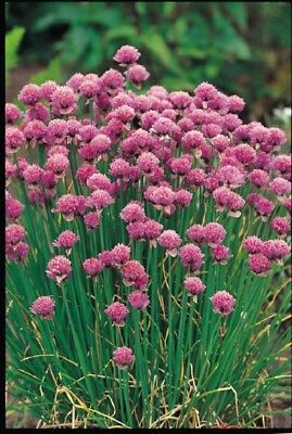 (327) 'KINGS' PREMIER QUALITY HERB   chives  2500 seeds