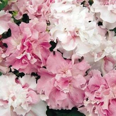 Petunia Double Pirouette - Orchid Mist - 30 pelleted seeds