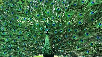 Strutting Emerald Green Peacock Taxidermy, Java Green Hybrid, NOW SHIP-ABLE!!!!!