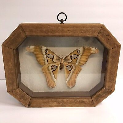 Framed Mounted Giant Moth Real Wood Frame Shadowbox Taxidermy Insect