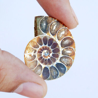 44CTS 100% Natural Ammonite Fancy Shape Cabochon Loose Gemstone AD-3678
