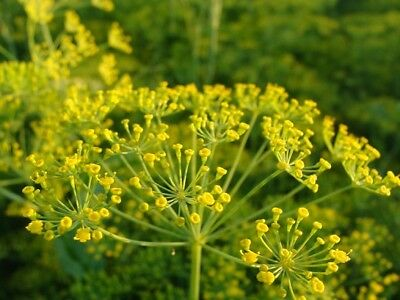 (333) 'KINGS' PREMIER QUALITY HERB  dill mammoth  60000 seeds