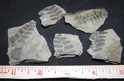 5 Pecopteris Fern Fossils from the Carboniferous, Pennsylvanian Period